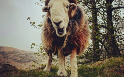 BBC News: Herdwicks: The 'smiley' sheep that shaped the Lake District